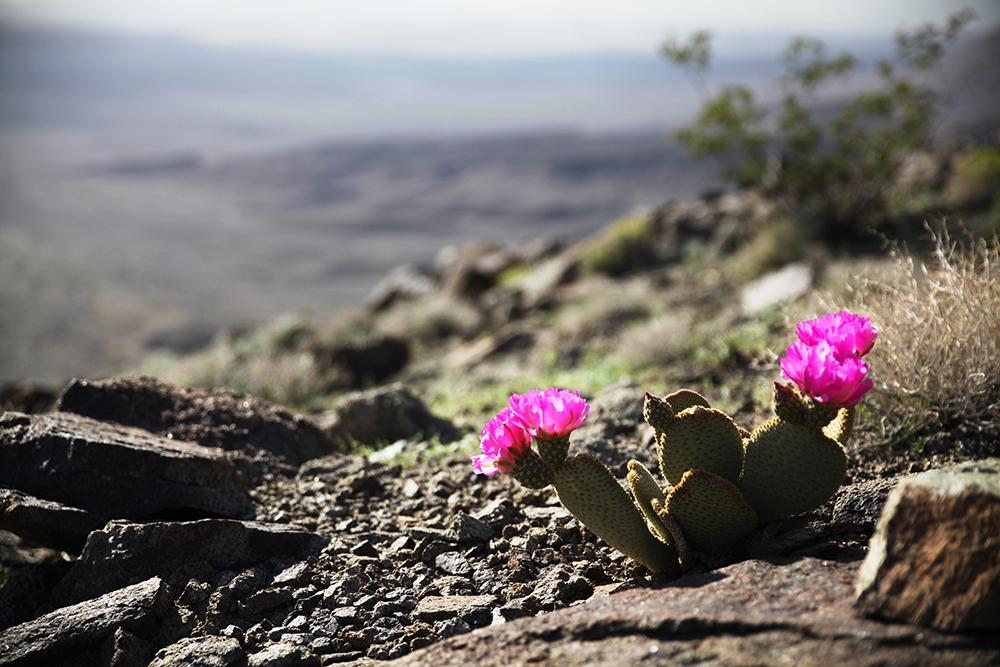 Von wegen tot! Rund 1000 Pflanzenarten leben im Death Valley – hier ein  Beavertail Cactus.