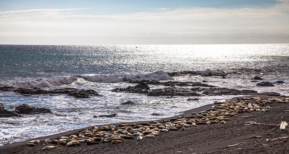 Der Sea Lion Gulch kündigt sich schon Meilen gegen den Wind mit Brüllen und Schnauben an – lange bev